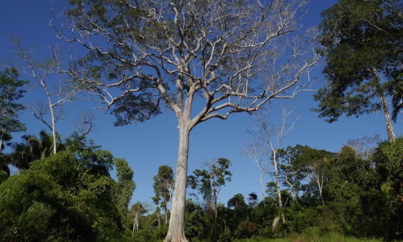 A new leaf: the hardy trees reforesting the Amazon