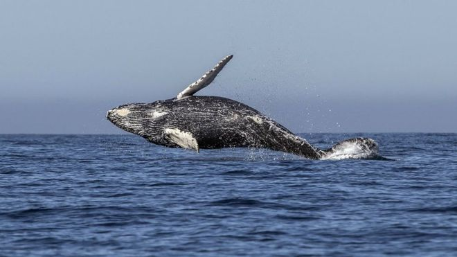 Japan 'to leave whaling commission to resume hunting'