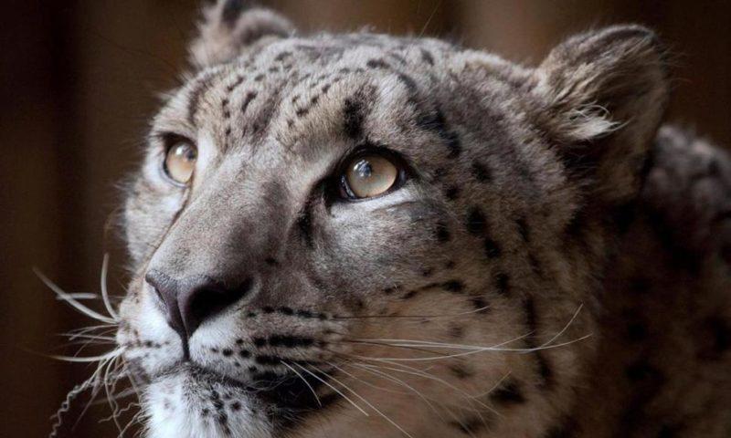 British Zoo Defends Decision to Kill Escaped Snow Leopard