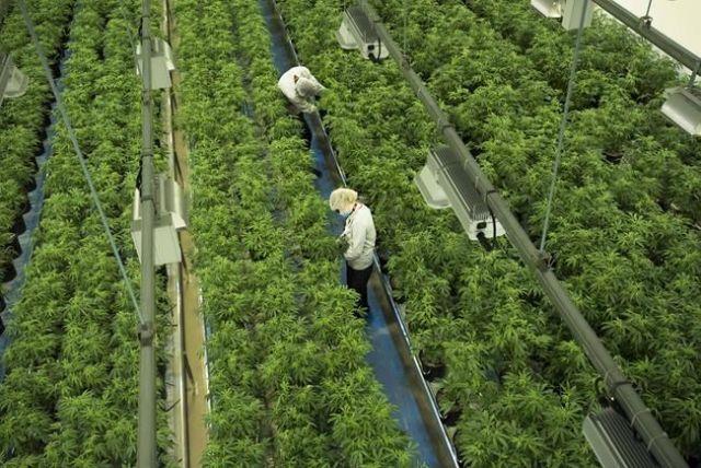 Canopy Growth into hemp