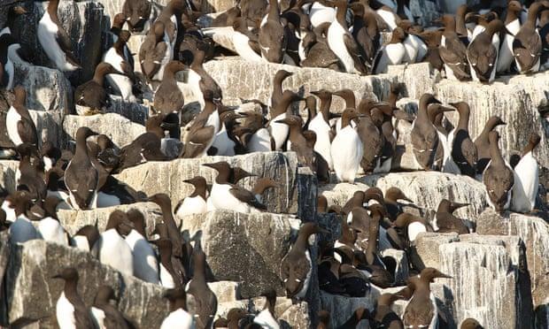 Netherlands puzzles over death of estimated 20,000 guillemots