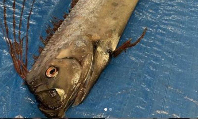Dead deep-sea oarfish spark earthquake and tsunami fears in Japan