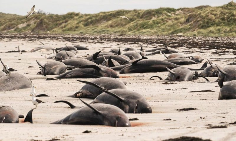 Chatham Islands: Mass stranding leaves nearly 100 whales dead